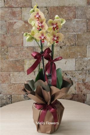 Sarı Dalmaçyalı Orkide