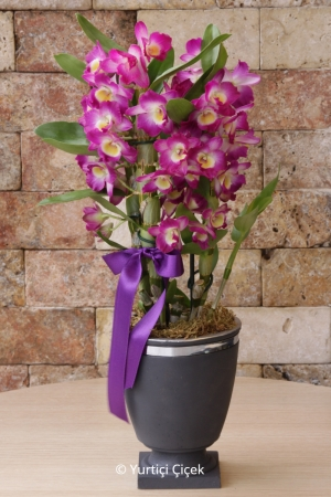 Butik Dendrobium Orkide