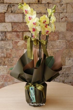 Çitli Sarı Orkide