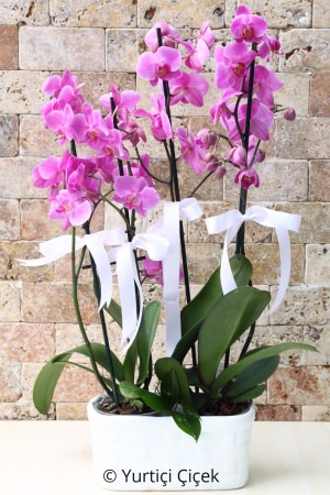 2 Adet Çiftli Mor Orkide