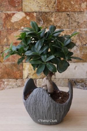 Özel Ficus Bonsai