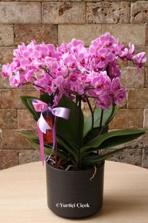 Butik Özel Mor Orkide