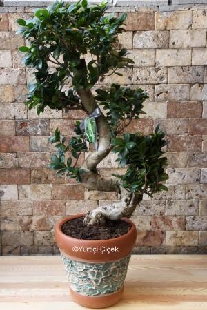 Bonsai Plant Büyük Boy