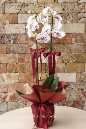 Beyaz Dalmaçyalı Orkide