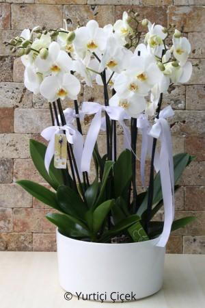 4 Kök 8 Dallı Beyaz Orkideler